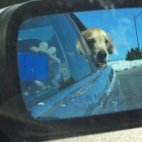 Driving Dog